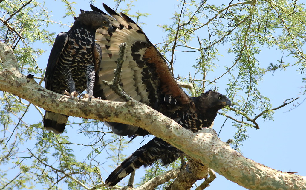 Crowned eagle (African crowned eagle, crowned hawk-eagle) Stephanoaetus coronatus, at Ndumo Nature Reserve, KwaZulu-Natal, South Africa