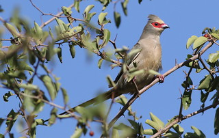 Red-faced mousebird, Urocolius indicus, at Pilanesberg National Park, Northwest Province, South Africa | by Derek Keats