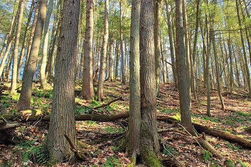 trees nature forest moss spring hiking pennsylvania creativecommons ravine trunks ferns slope coniferous whitepines hemlocks oldgrowthforest understory pinusstrobus columbiacounty tsugacanadensis easternhemlocks weiserstateforest easternwhitepines relictforest jakeyhollownaturalarea