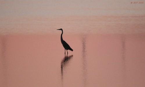 sunset vacation bird nature tampa geotagged hotel florida wildlife resort grandhyatt greatblueheron naturewalk ardeaherodias wildbird zeesstof