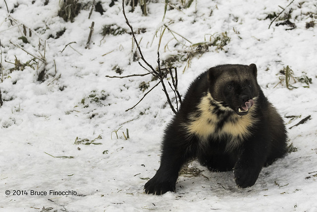 Wolverine Pivots With Tongue Out