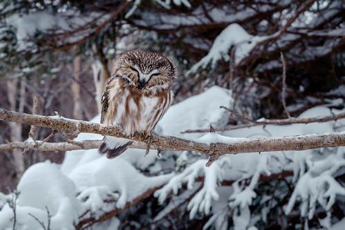 winter snow canada branch novascotia owl capebreton 2015 capebretonisland sawwhet fujixe2