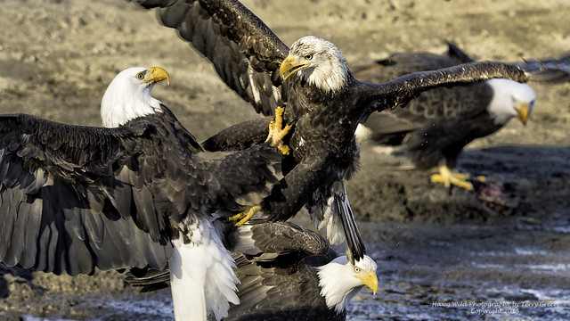 When the winter salmon are spawning you never know when a ruckus will break out among the American Bald Eagles.  Photo taken along a river in the Pacific Northwest.