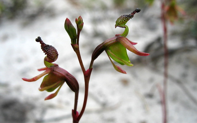 Small Duck Orchid - Paracaleanor minor - Peter Murrell Reserve