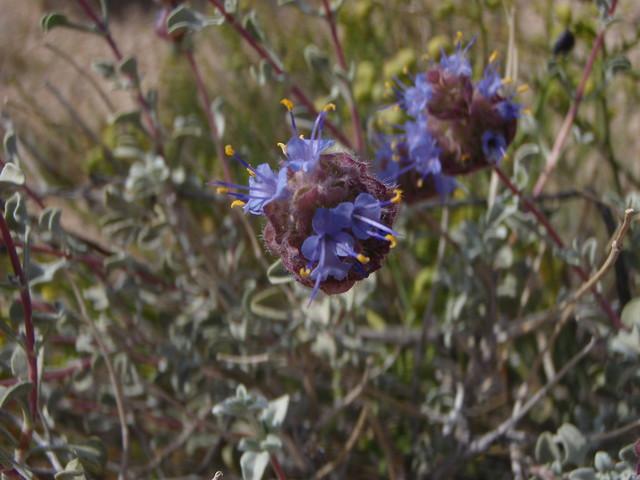 Salvia dorrii (Dorrs Sage)