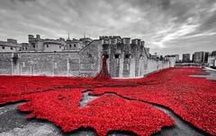 Tower of London poppy