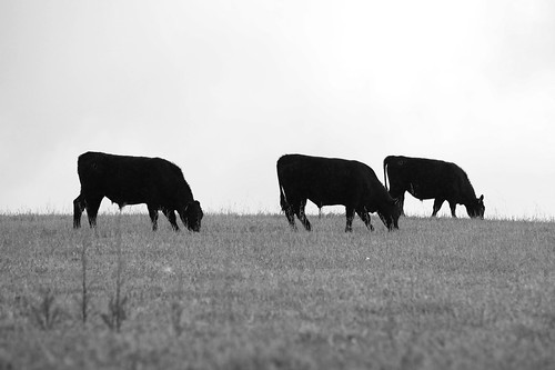 Three Cows | by Rennett Stowe