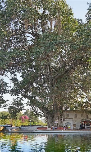 Vieux banian à Panchakki (Aurangabad, Inde)
