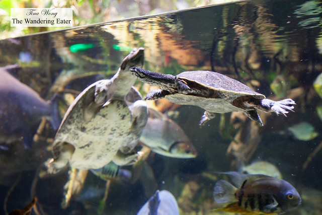 Turtles from Amazon display