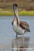 California Brown Pelican (Pelecanus occidentalis californicus), juvenile DSC_3649 by fotosynthesys