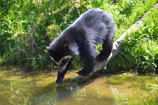 Andean Bear Cub (Tremarctos ornatus)