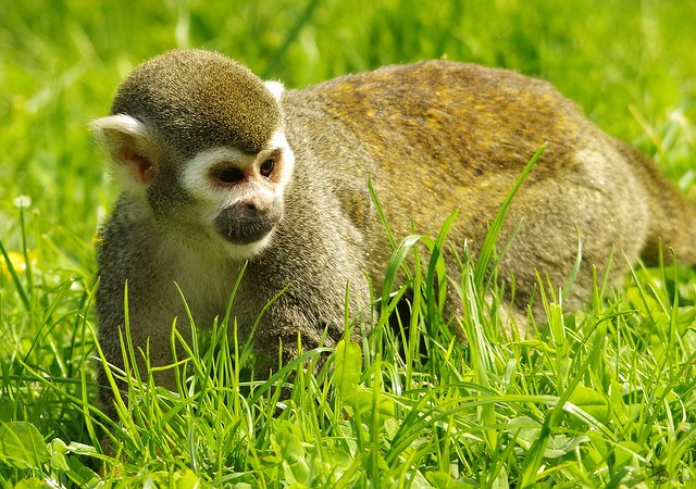 Squirrel Monkey (5)