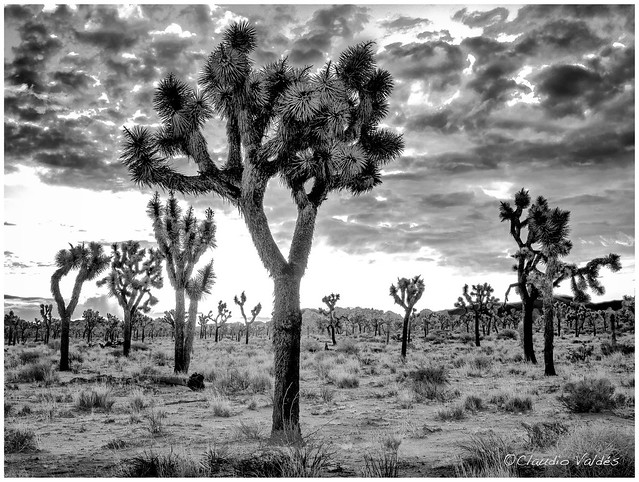 - Dawn at the Joshua Tree Forest -