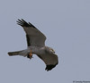 Northern Harrier by Ceredig Roberts