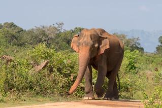 Elephas maximus | by seghal1