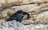 Northern Bald Ibis (2 of 4) by tickspics 