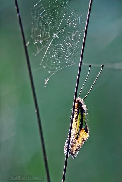 Libelloides coccajus - Ascalaphe soufré