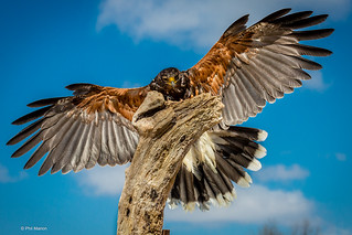 Golden eagle - Canadian Raptor Conservancy | by Phil Marion (176 million views - THANKS)
