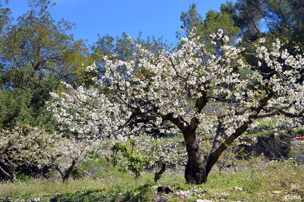 Cerezos en flor. en el valle de la Gallinera.