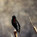 The red-winged blackbirds are back by knowneuropean