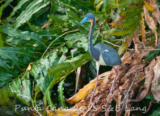 Tri Colured Heron | by Sherry Lang
