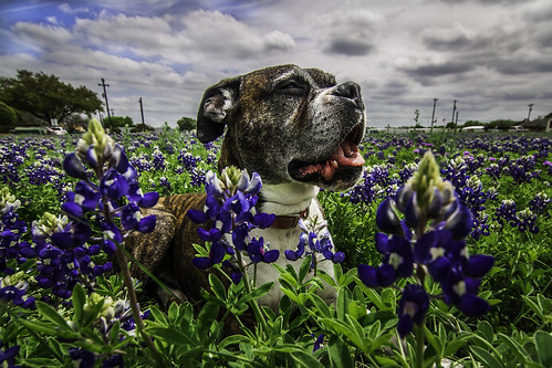 champ in bluebonnets 2015 | by photos_without_borders