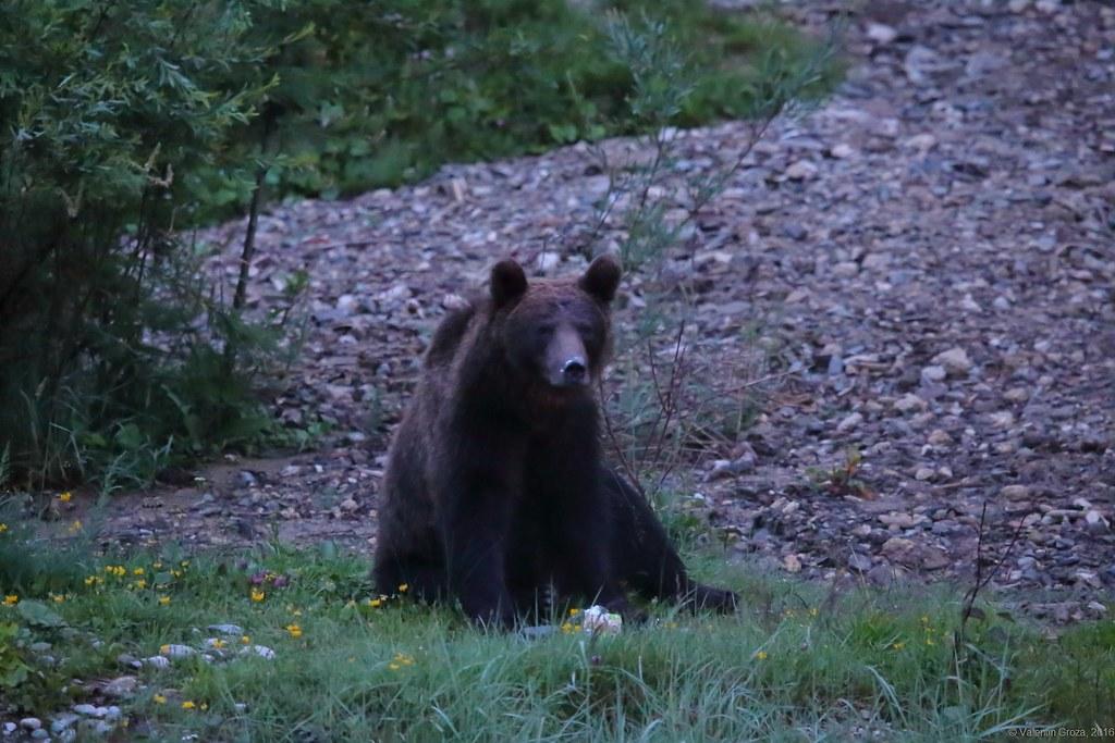 urs valea cerbului 01