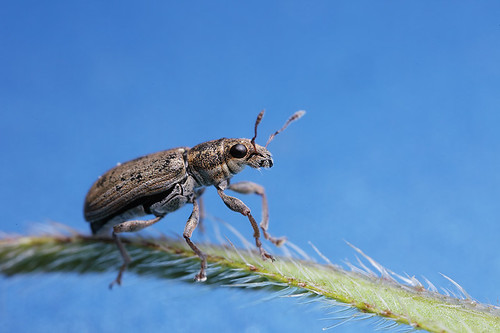 Pea/bean weevil Sitona sp. #1 | by Lord V
