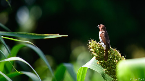 munia bird nature birdsofindia indianbirds nikon nikonforever d7200 spottedmunia scalybreastedmunia