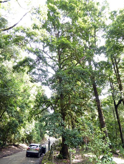 Quercus benthamii A.DC. 1864 (FAGACEAE)