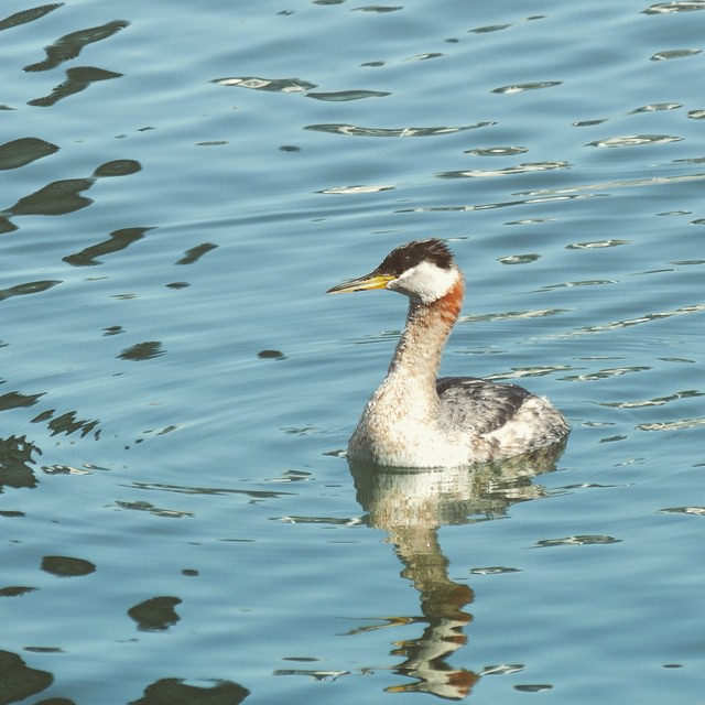 Red necked grebe, looking for love.