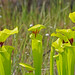 Yellow Pitcher Plant - Photo (c) Jerry Oldenettel, some rights reserved (CC BY-NC-SA)