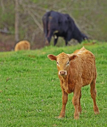 georgia cow farm pasture calf livestock