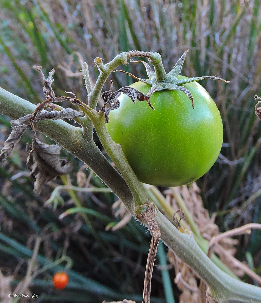 Green Tomato | These always remind me of the movie