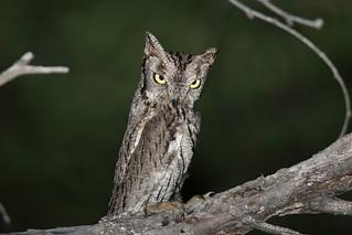 Western Screech-Owl (Megascops kennicottii)   by Dominic Sherony