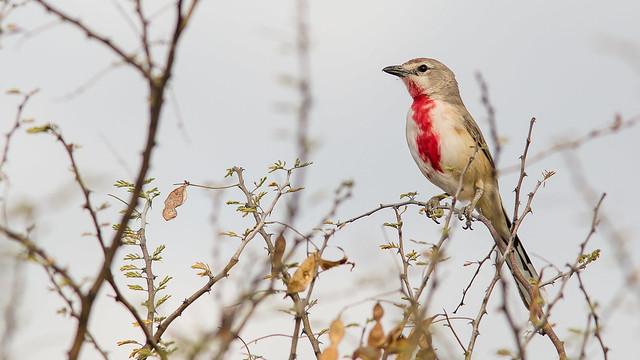 Rosy bird