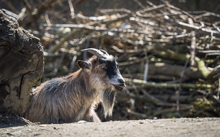 Goat | by haslo