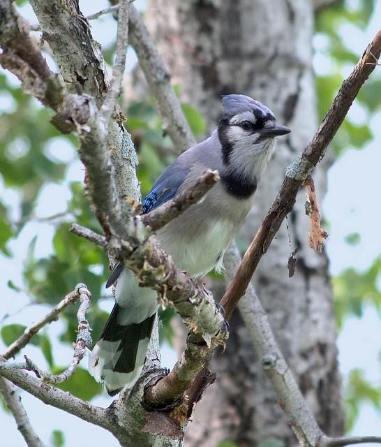 Geai Bleu--Blue Jay
