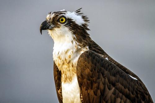 raptor osprey birdofprey