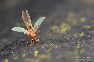 Winged ant (Crematogaster sp.) - DSC_3816