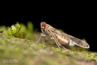 Planthopper (cf. Kinnaridae) - DSC_6144