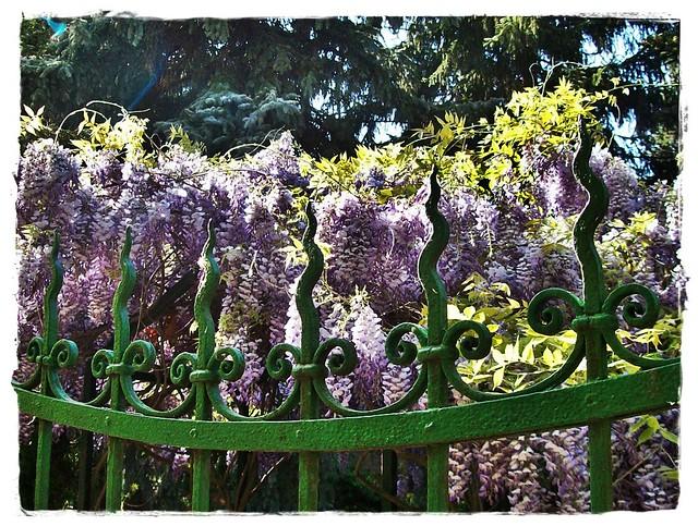 Flowers and fence in my road- Virágzuhany a kerítés mögött..