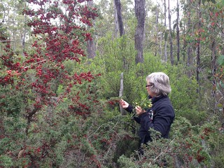 Collecting Persoonia specimens