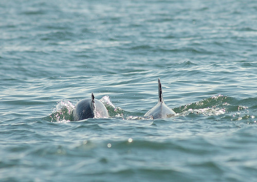 Photo of dolphins diving in the water