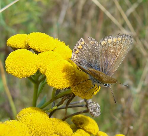 Roellikek-med-sommerfugl