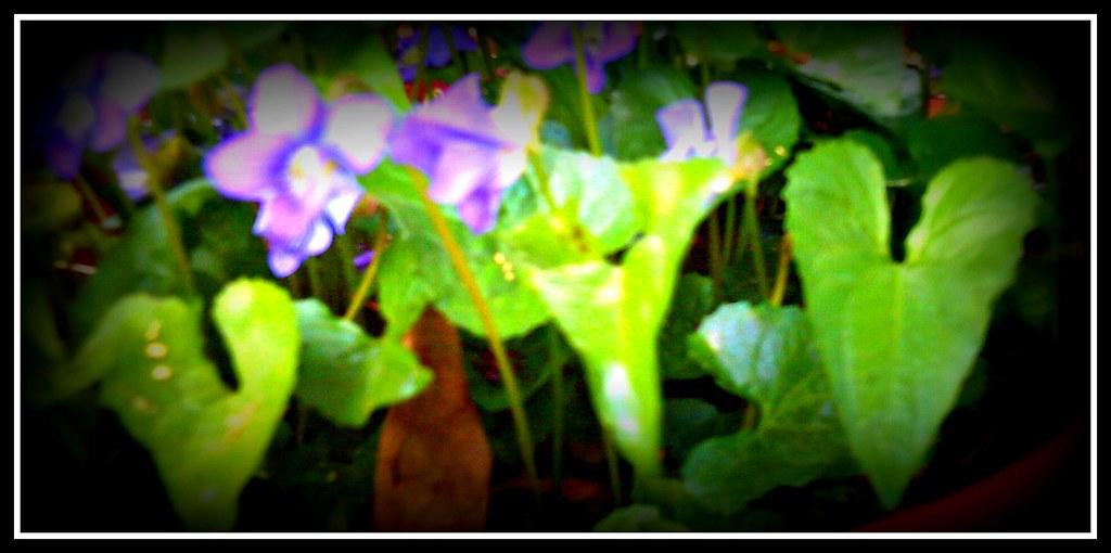 April~ sweet violets~ 011