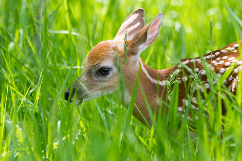 deer odocoileusvirginianus whitetaildeer