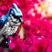 Bradley the Blue Jay by Noah_L