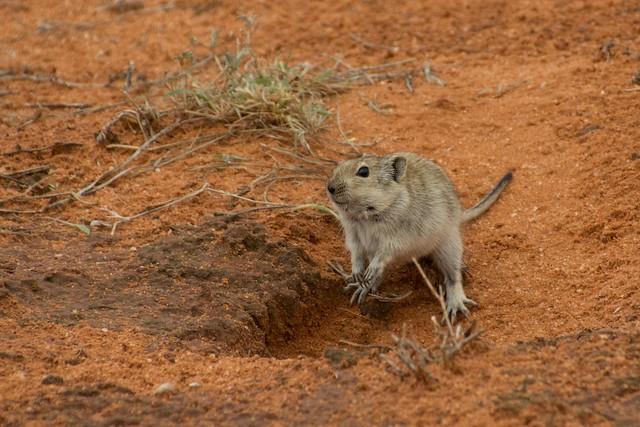 Brandt's  Whistling Rat Digging