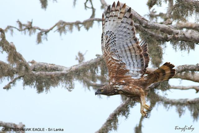 (463a) Crested Hawk-Eagle - [ Bundala National Park,  Sri Lanka ]